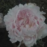 DSC_4204 peony white w pink flush Jun 19