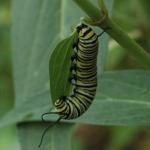 DSC_4543cr2 Monarch larva