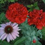 DSC_4671 Coneflower 'Bright Star' & red poppy FR_2