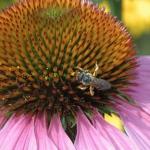 DSC_5311 wasp on coneflower